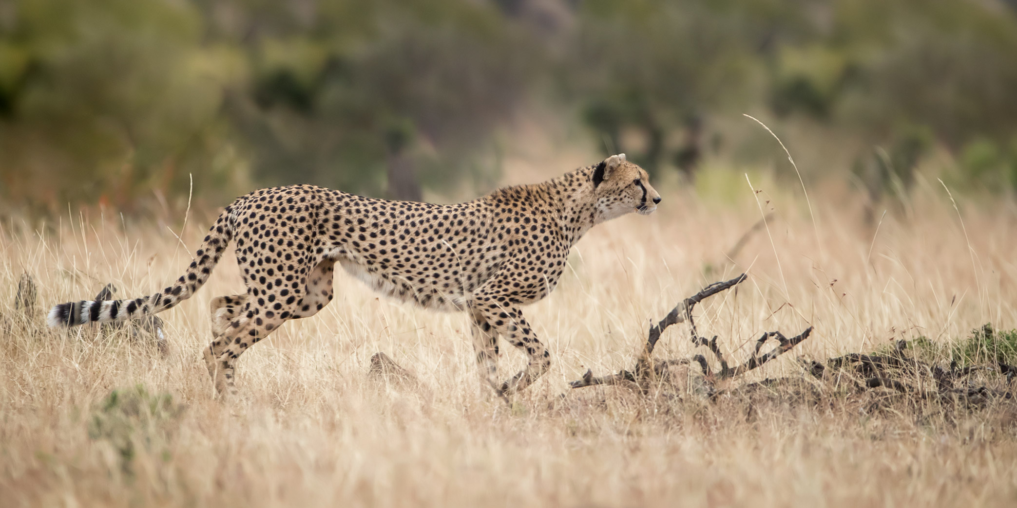 Cheetah, Hunt, Africa, Kenya, Masai Mara, Renee Doyle Photography