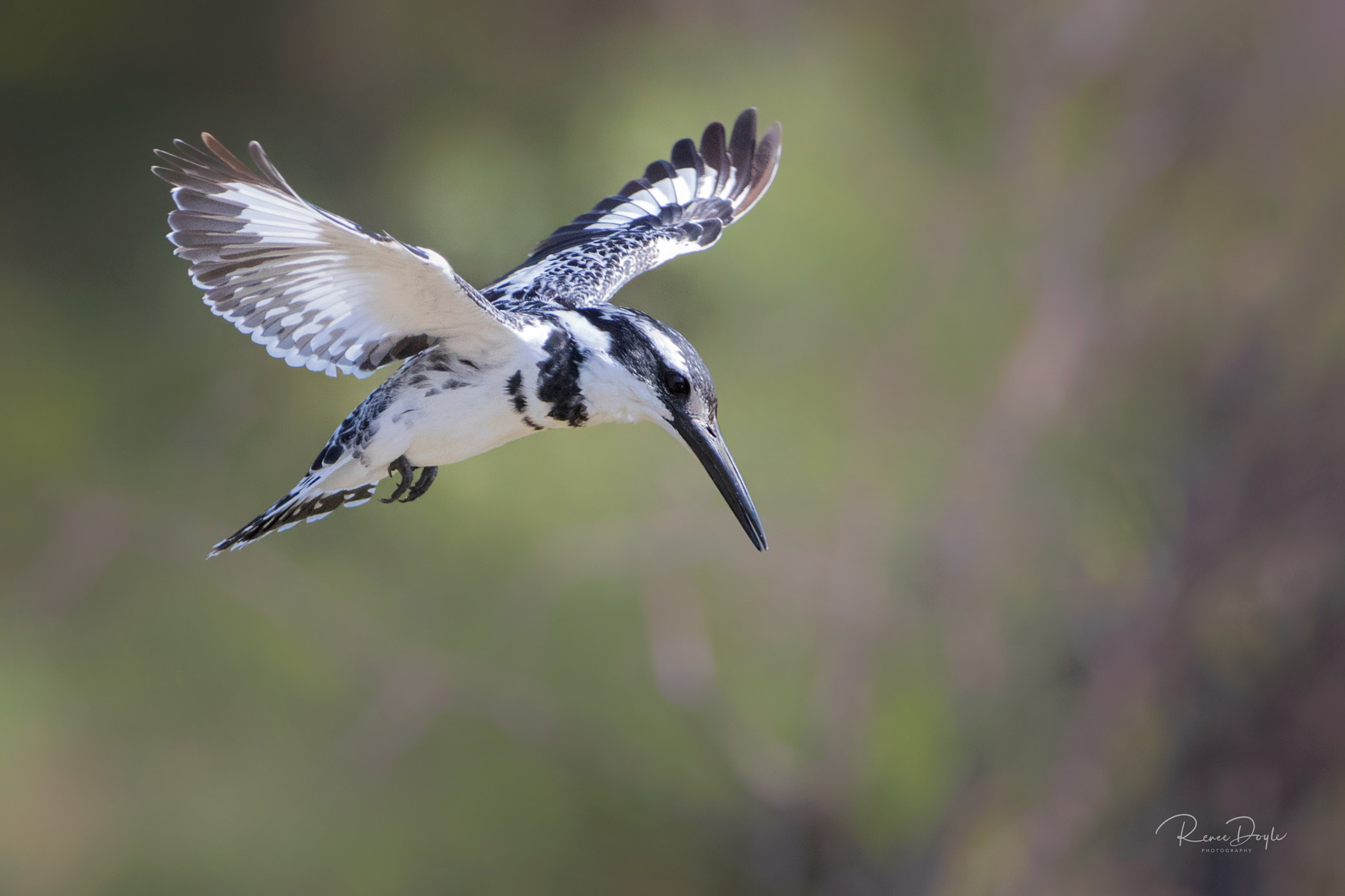 Pied King Fisher, Bird, Hover, Africa, Kenya, Masai Mara, Renee Doyle Photography