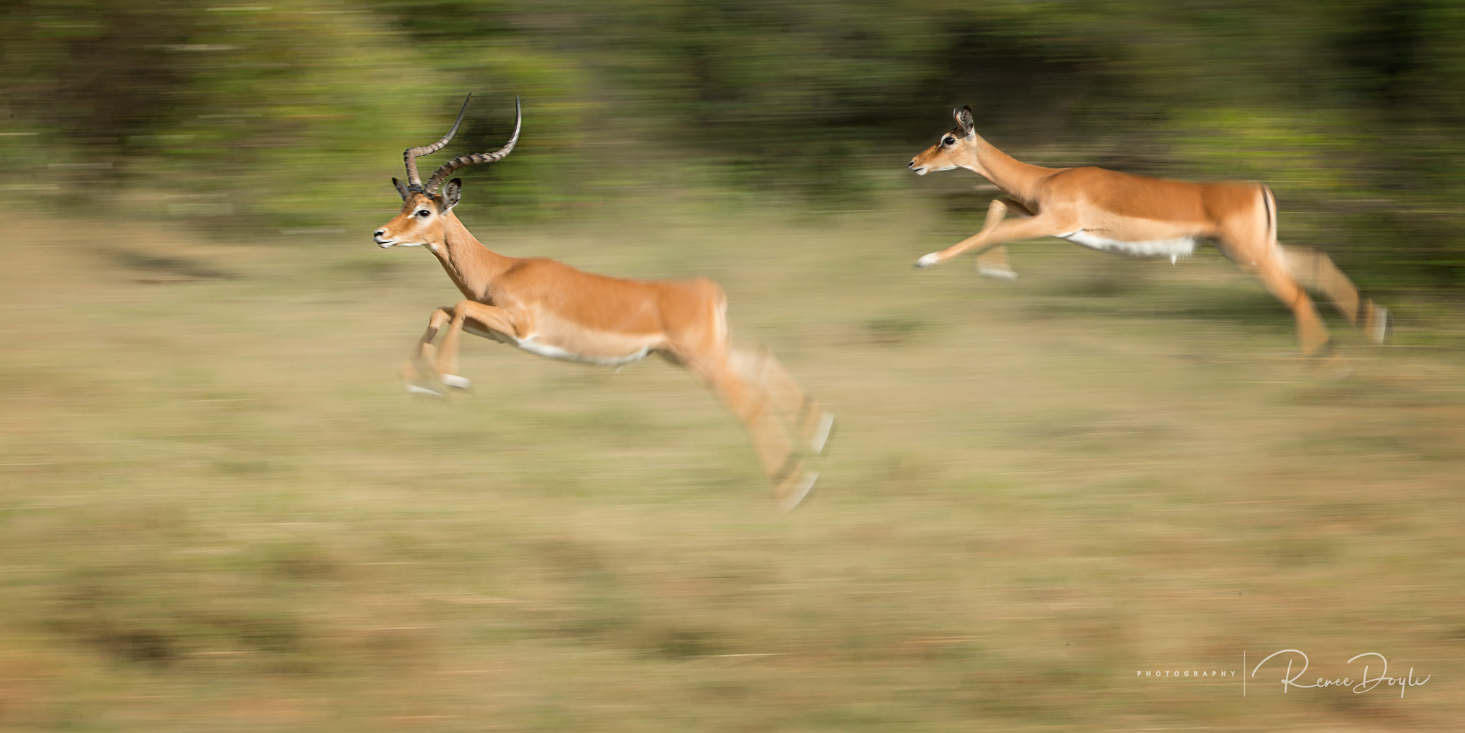 Antelope, Grants Gazelle, Running, Africa, Kenya, Masai mara, Renee Doyle Photography