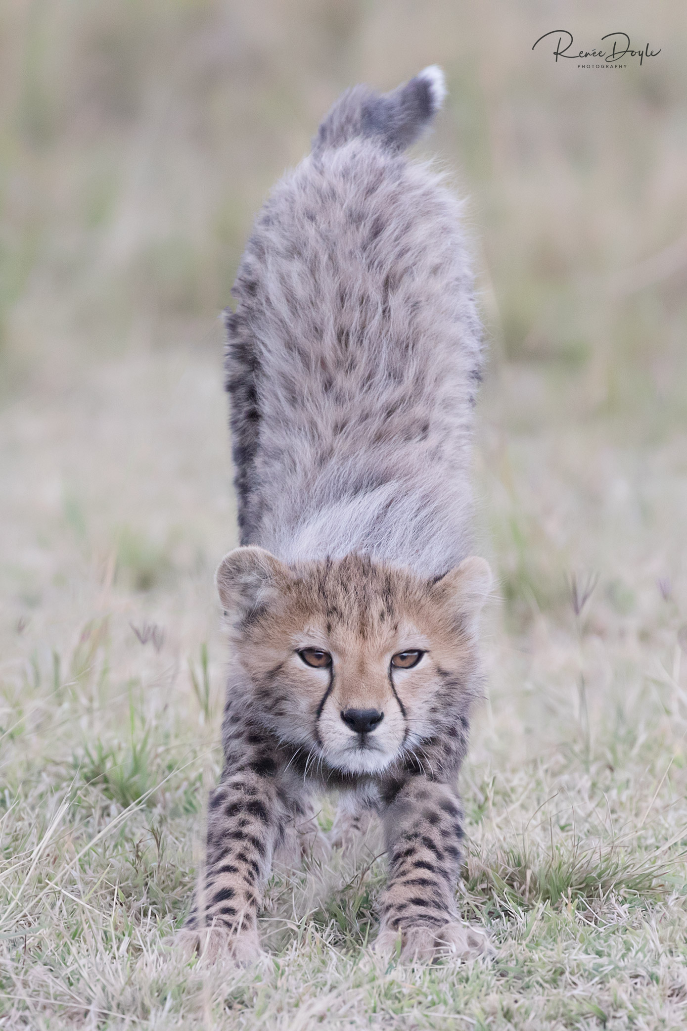 Cheetah Cub, Stretch, Cat, Africa, Kenya, Masai Mara, Renee Doyle Photography
