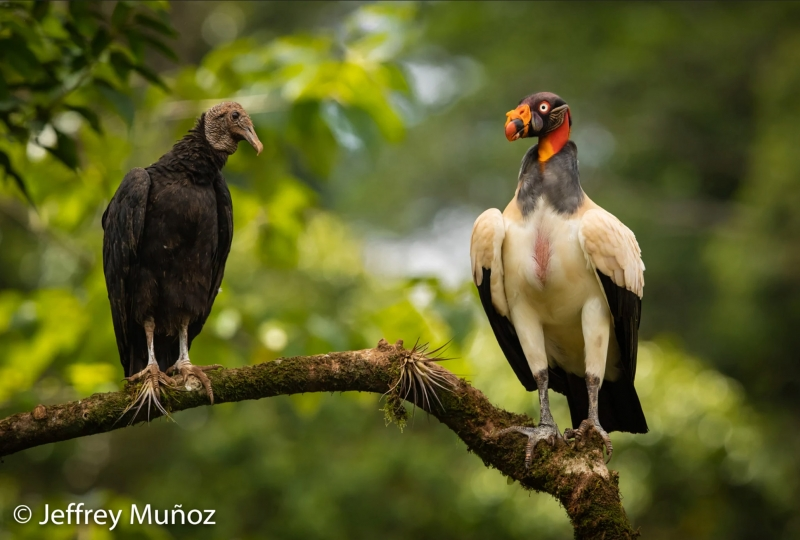black-vulture-and-king-vulture