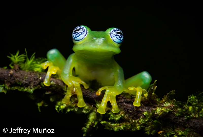 ghost-glass-frog